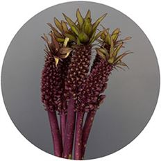 EUCOMUS PINEAPPLE LILY