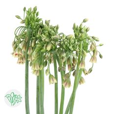 ALLIUM BULLET 10 STEM BUNCH