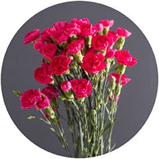 CARNATION MINI HOT PINK
