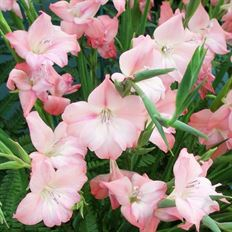 GLADIOLA MINI 10 ST BUNCH