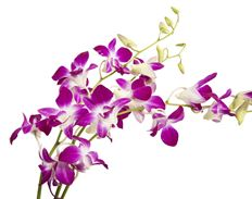 DENDROBIUM SPRAY