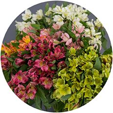 ALSTROEMERIA SELECT